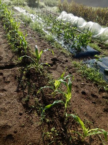 2014.6.20 畑の野菜 055 (11)