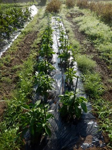 2014.6.20 畑の野菜 055 (7)