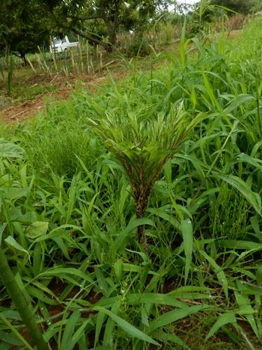 2014.6.25 綺麗になった野菜畑 026