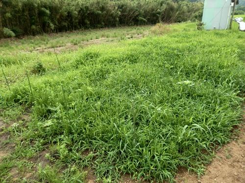 2014.6.25 綺麗になった野菜畑 023