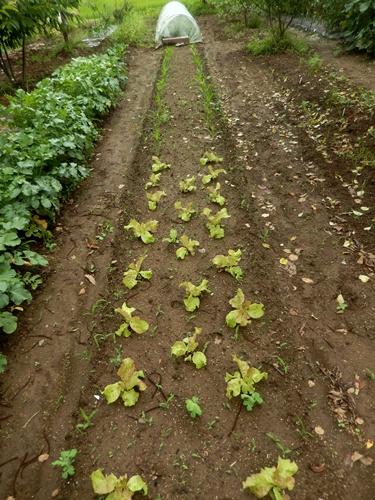 2014.7.4 野菜畑 005 (4)