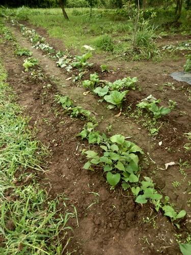 2014.7.4 野菜畑 005 (1)