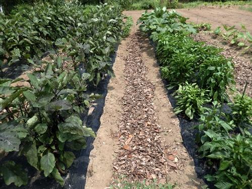 2014.7.16 畑に落ち葉を敷く 005 (2)