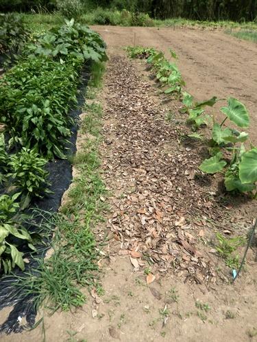 2014.7.16 畑に落ち葉を敷く 005