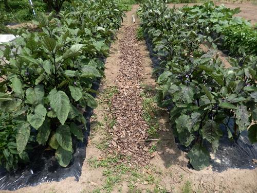 2014.7.16 畑に落ち葉を敷く 005 (1)