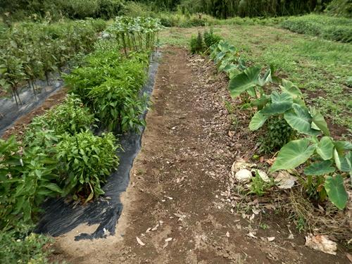 2014.8.12 野菜畑の夏 032