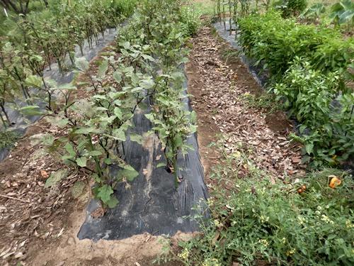 2014.8.12 野菜畑の夏 031