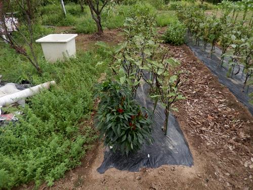 2014.8.12 野菜畑の夏 030
