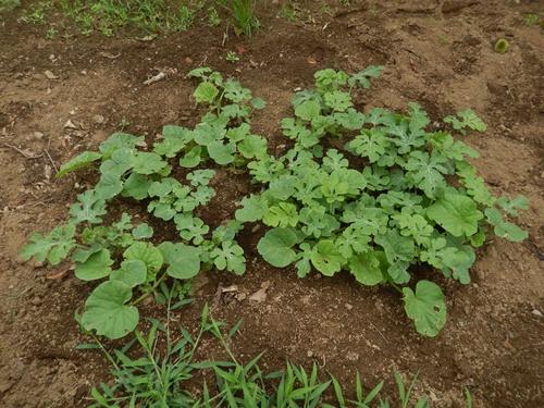 2014.8.12 野菜畑の夏 029