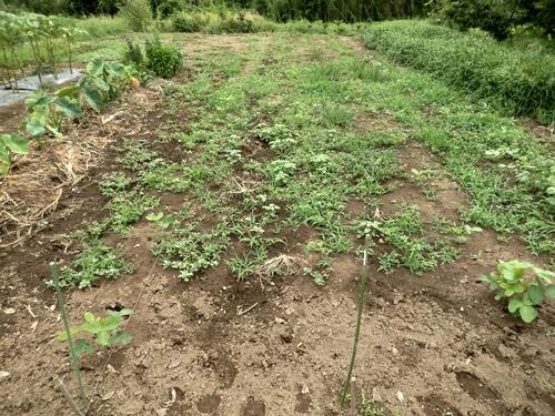 2014.8.12 野菜畑の夏 033