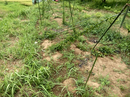 2014.8.12 野菜畑の夏 040