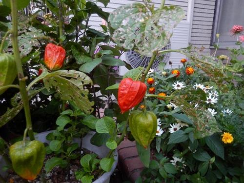 2014.8.12 庭の草花の夏 022 (6)