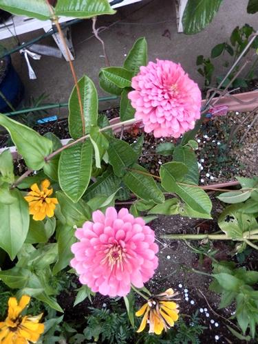 2014.8.12 庭の草花の夏 022 (5)
