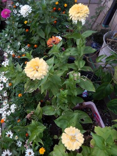 2014.8.12 庭の草花の夏 022 (4)