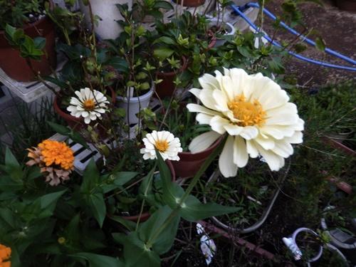2014.8.12 庭の草花の夏 022 (3)