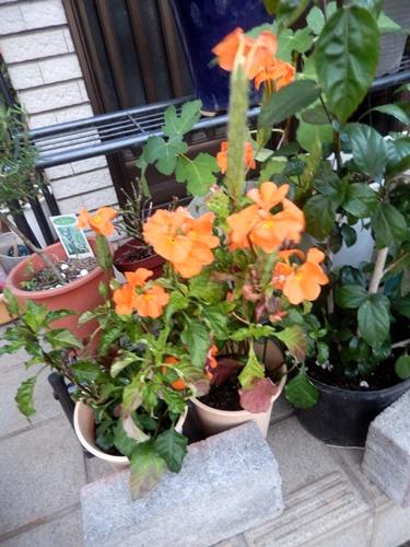 2014.8.12 庭の草花の夏 022 (1)