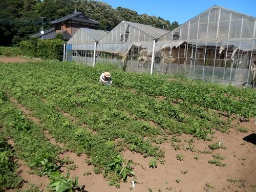 2014.8.19 大豆の生長 027 (2)