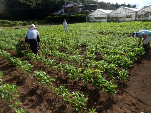 2014.8.23 大豆の草取り 014 (1)