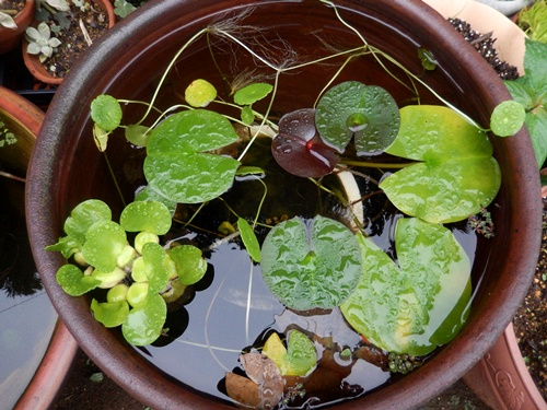 2014.8.29 雨上がりの睡蓮鉢 (2)