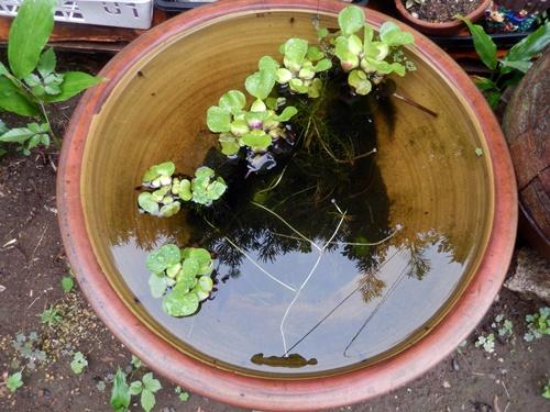 2014.8.29 雨上がりの睡蓮鉢 (1)