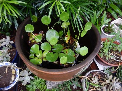 2014.8.29 雨上がりの睡蓮鉢