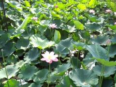 0729蓮の花