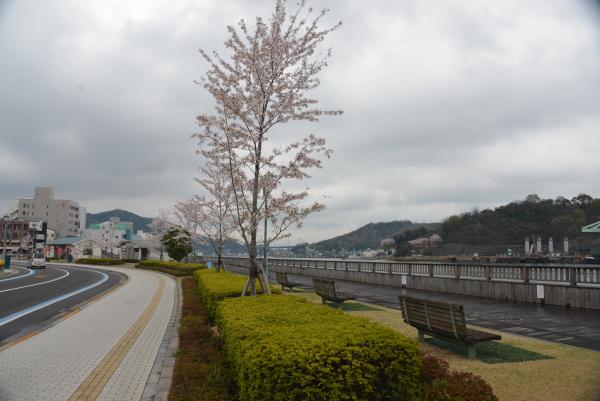 尾道水道沿い桜並木