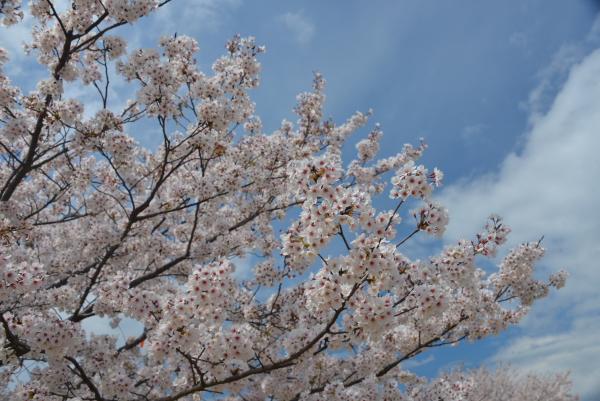 流れ雲と桜花