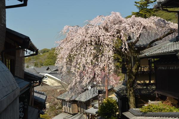 産寧坂のしだれ桜1