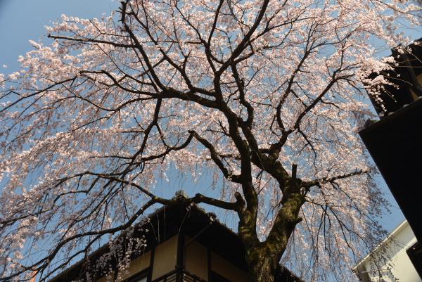 産寧坂のしだれ桜2