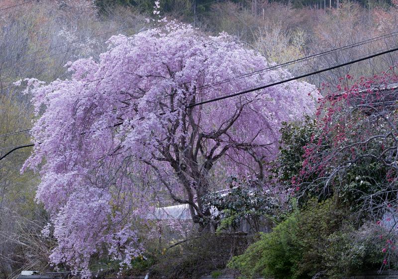 川内村萩・桜_1
