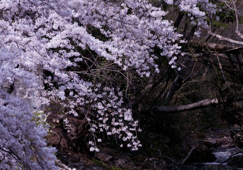 川内_毛戸川桜_3