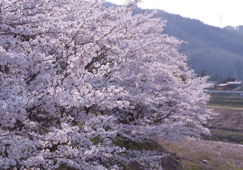 川内_木戸川桜_3