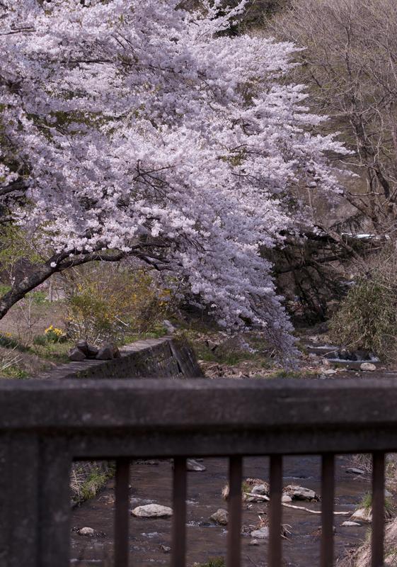 川内_毛戸川桜_5