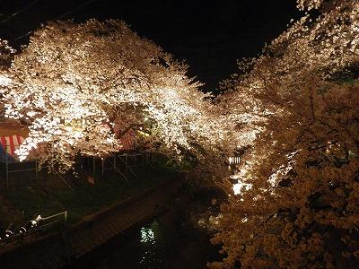 2014五条川夜桜 (1)