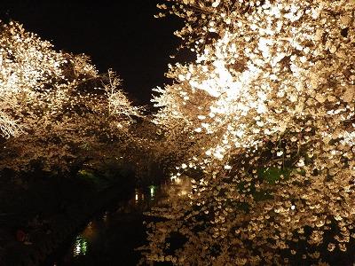 2014五条川夜桜 (4)