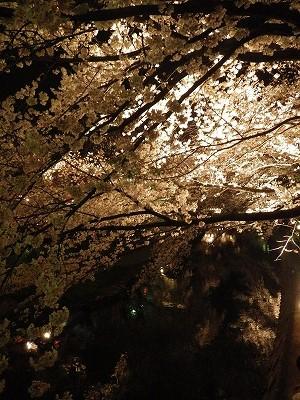 2014五条川夜桜 (5)