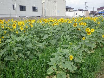 2014ひまわり畑 (2)