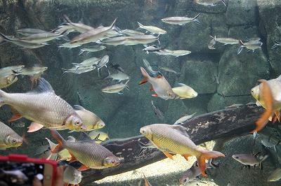 2014淡水魚水族館 (3)