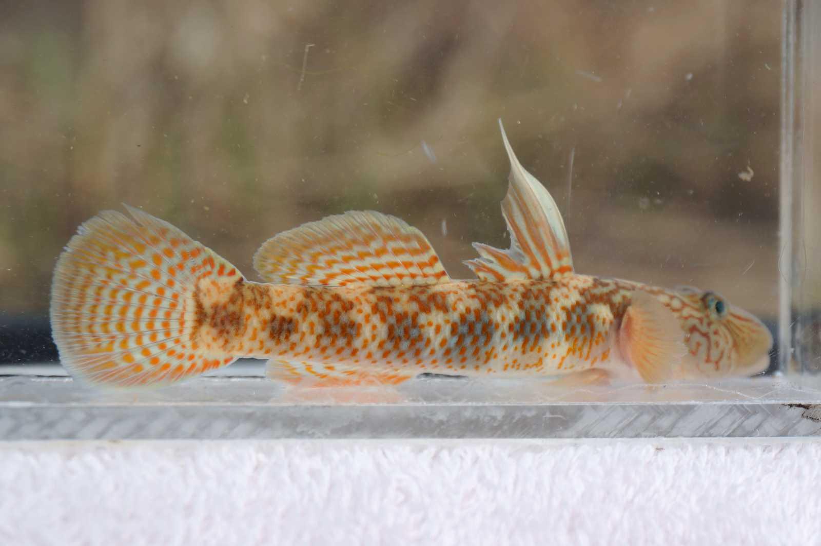 밀어(ミルオ 和名不明 ヨシノボリの一種 Rhinogobius SP.)