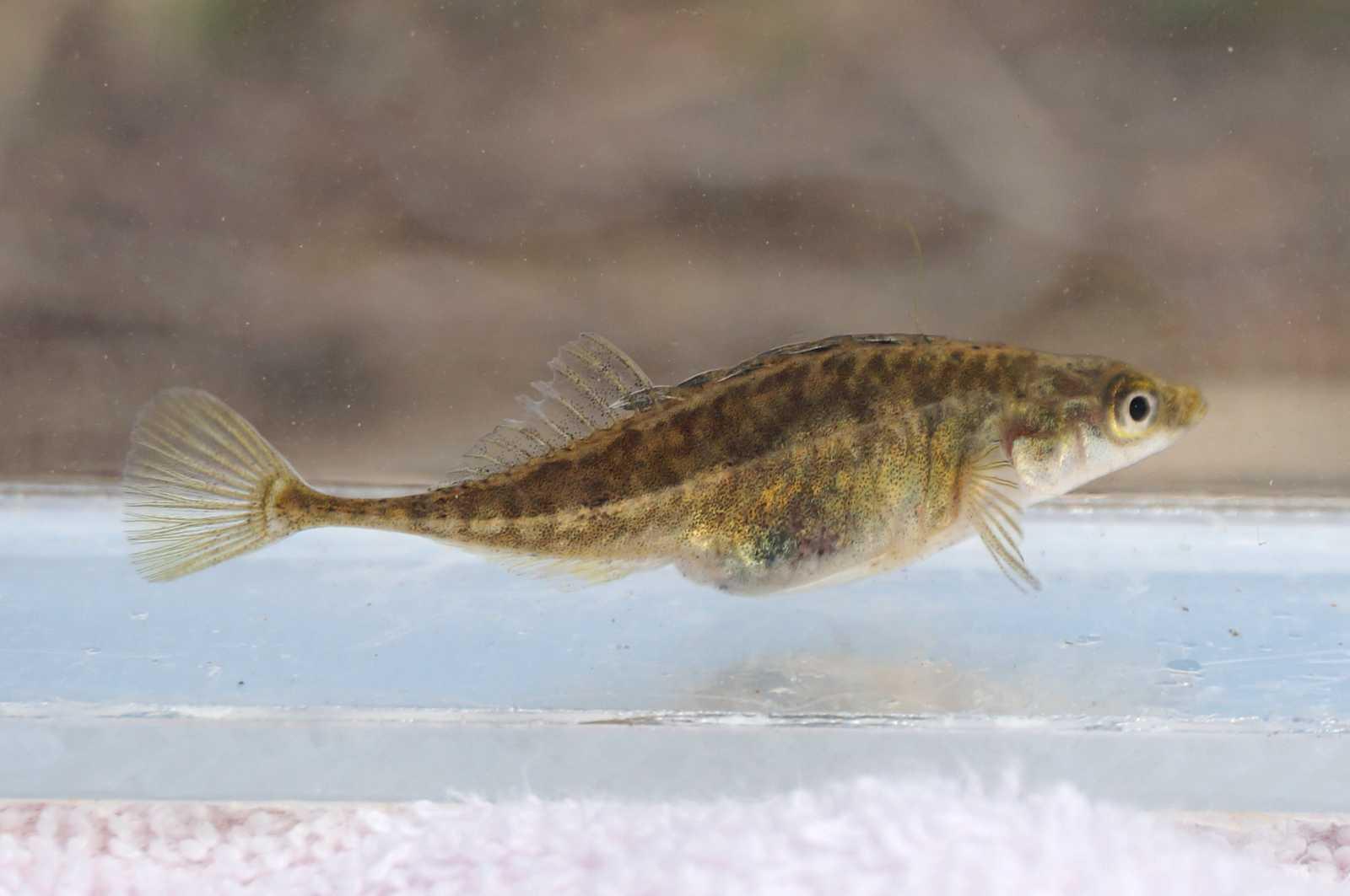 잔가시고기(ジャンガシゴギ 和名ミナミトミヨ 南富魚 Pungitius kaibarae)