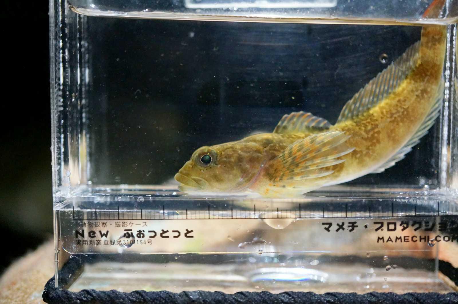 둑중개(ドゥクジュンゲェ 和名キビレカジカ 黄鰭鰍 Cottus koreanus)