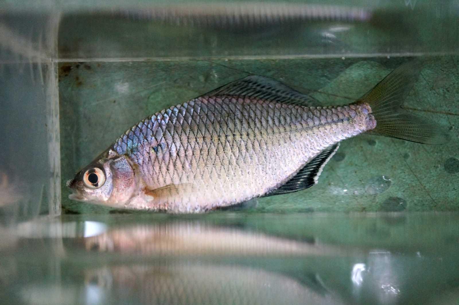 큰납지리(クンナプジーリー 和名オオタナゴ Acanthorhodeus macropterus)