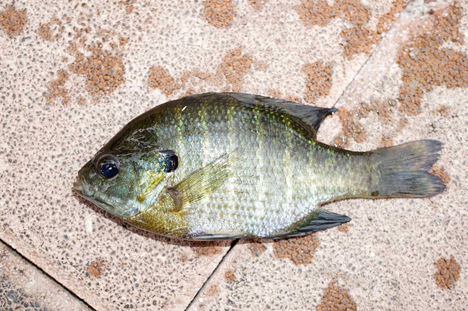 블루길(ブルルーギル 和名ブルーギル Lepomis macrochirus)