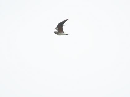 ツバメチドリ-14