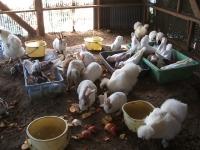 2014-05-17鳩兔鶏252