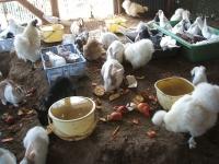 2014-05-17鳩兔鶏251