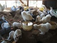 2014-05-17鳩兔鶏248
