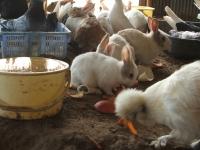2014-05-17鳩兔鶏257