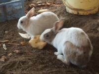 2014-05-17鳩兔鶏256
